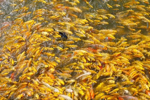 Grupo de peixes de carpa dourada na água