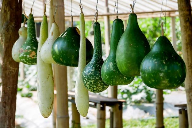 Grupo de planta de melão verde maduro fresco