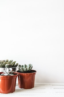 Grupo de plantas suculentas em pequenos vasos de plástico marrons dentro de casa