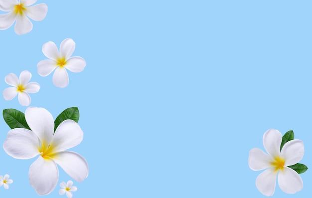 Grupo de plumeria, flores de frangipani e folhas isoladas sobre fundo azul. (aloha; flor havaiana)