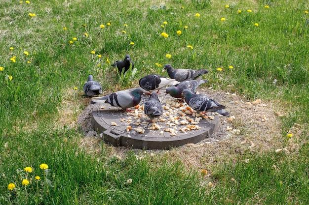 Grupo de pombos à procura de comida