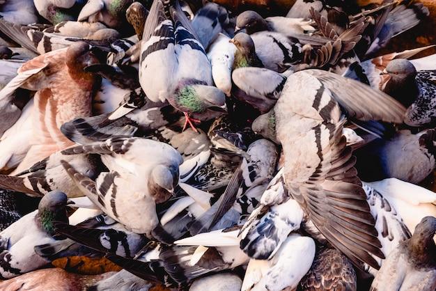 Grupo de pombos bicando o chão indisciplinado.