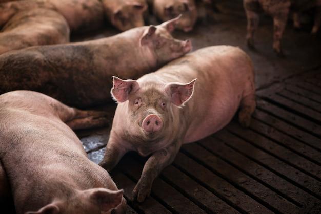 Grupo de porcos animais domésticos na fazenda de porcos