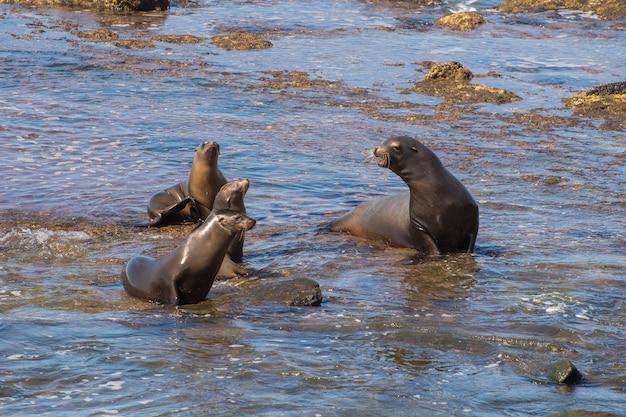 Grupo de quatro leões marinhos da califórnia na orla do oceano pacífico