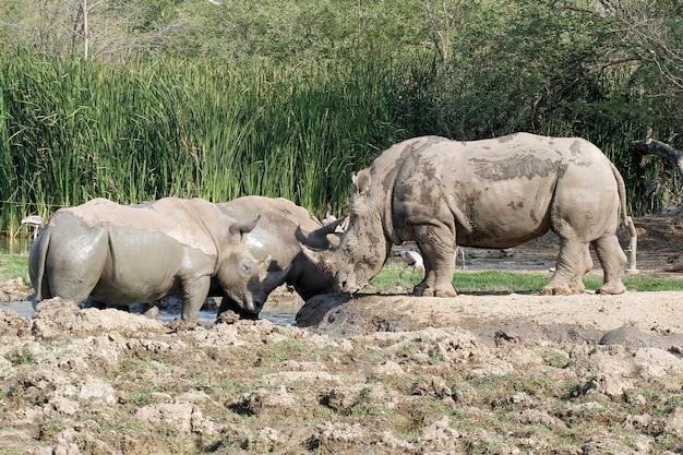 Grupo de rinoceronte branco brinca com lama é mamífero e vida selvagem no jardim