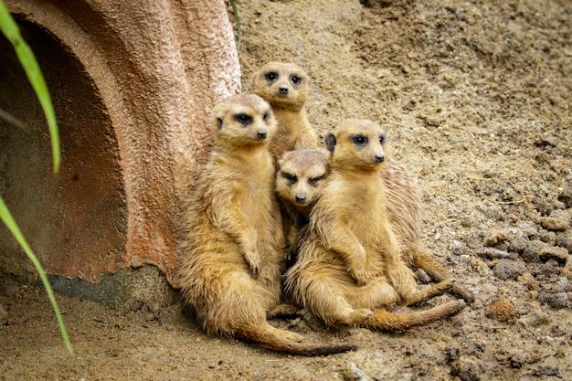 Grupo de suricata na natureza. animais selvagens.