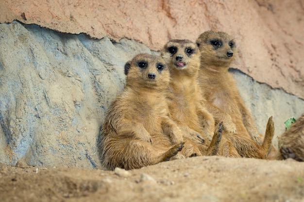 Grupo de suricata (suricata suricatta) na natureza. animais selvagens.