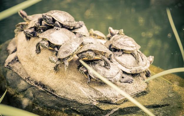 Grupo de tartarugas em uma rocha