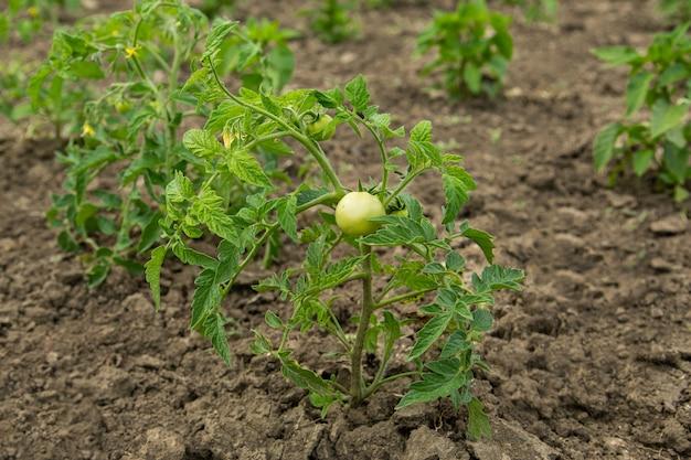 Grupo de tomates verdes no caule
