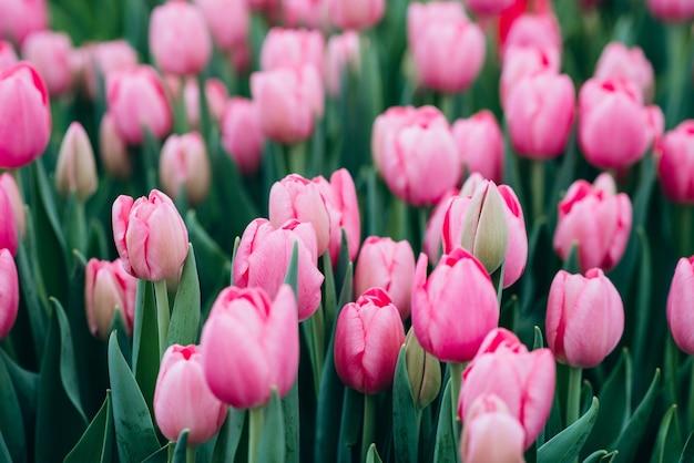 Grupo de tulipas cor de rosa no campo