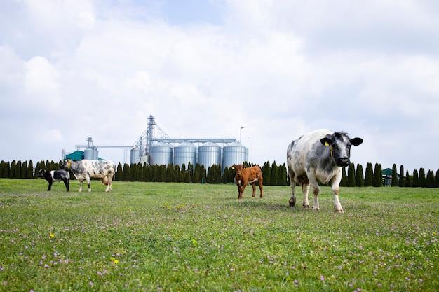 Grupo de vacas e bezerro pastando no campo na fazenda de gado leiteiro e silos ou armazenamento de alimentos no fundo.