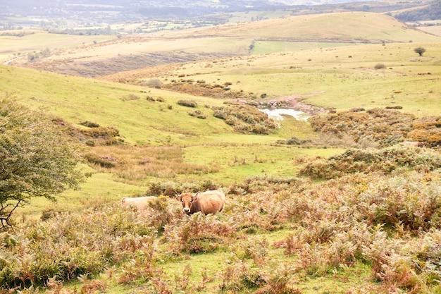 Grupo de vacas pastando em grandes pastos verdes