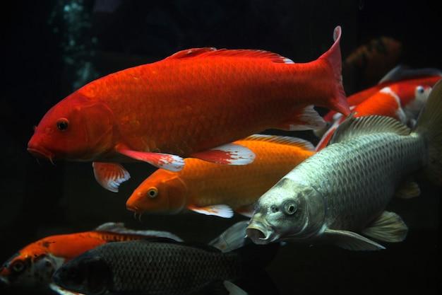 Grupo de vários peixes koi isolados em fundo preto