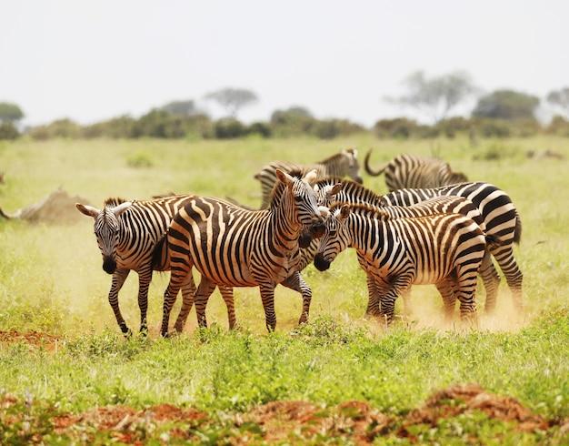 Grupo de zebras pastando no parque nacional tsavo east, quênia, áfrica