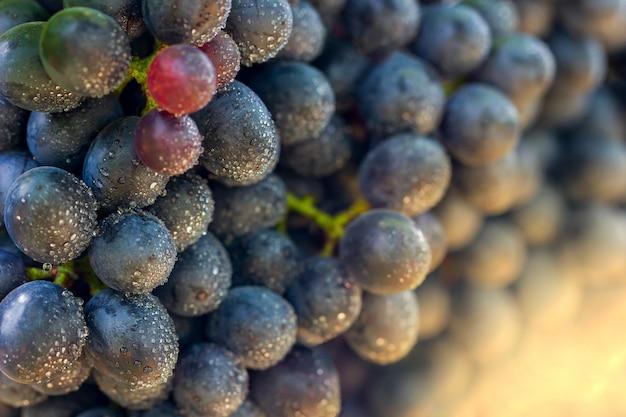 Grupo do close up de uvas e gotas da água na exploração agrícola orgânica com luz solar da manhã.