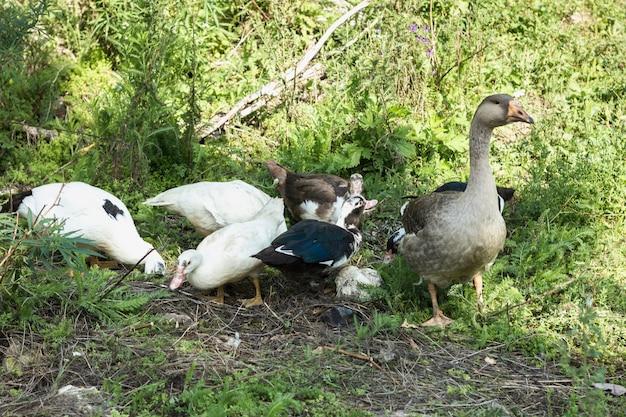 Grupo doméstico de patos à procura de comida