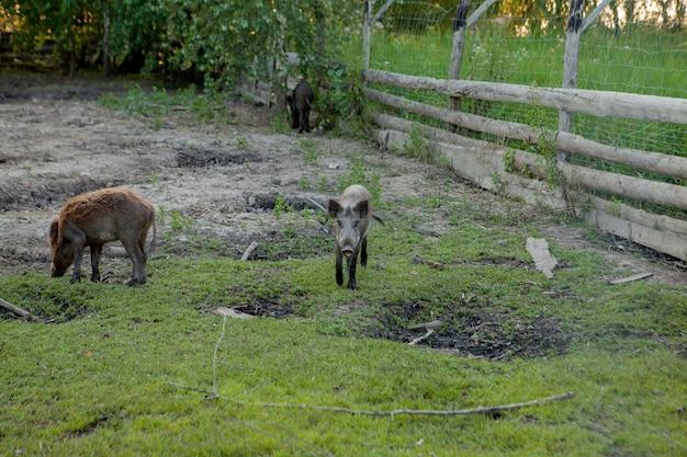 Grupo familiar de porcos verrugas pastando comendo grama juntos.