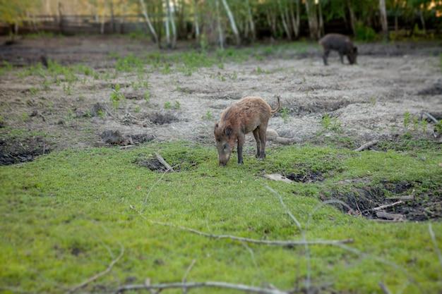 Grupo familiar de porcos verrugas pastando, comendo grama juntos.