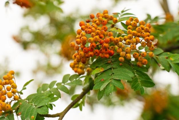 Grupo natural de bagas vermelhas de rowan no outono.