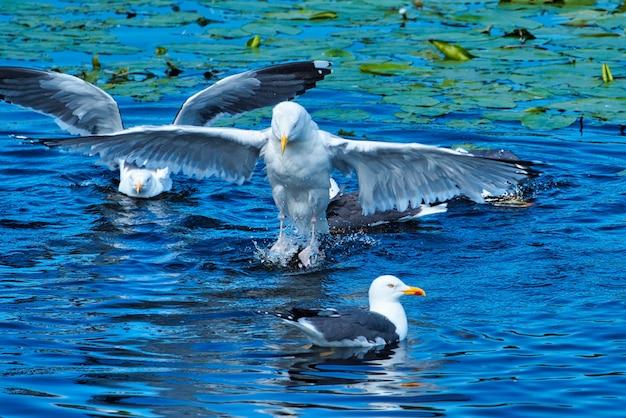 Grupo ofeuropean herring gull em heligoland - ilha duna - limpeza pena em lagoa de água doce - larus argentatus