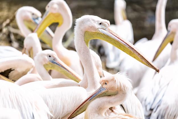 Grupo ou família do pelicano ou do pelicano cor-de-rosa ao ar livre.
