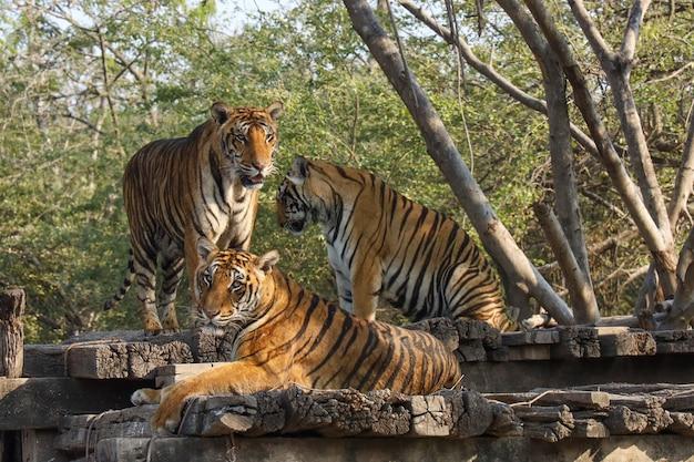 Grupo tigre fica no chão de madeira no jardim