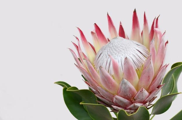Grupo vermelho da flor do protea em um fundo isolado branco. fechar-se. para o projeto. natureza.