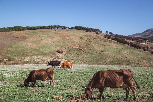 Grupos de vacas pastando nas montanhas