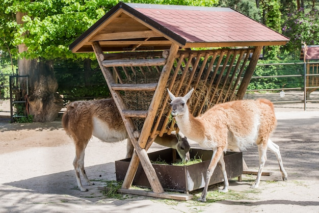 Guanaco comendo feno em uma pequena fazenda, pastando no zoológico