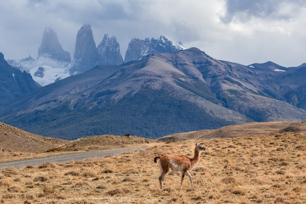 Guanaco selvagem no parque nacional torres del paine, patagônia