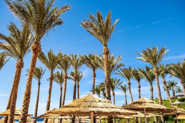 Guarda-sóis com sombra de palha e palmeiras verdes frescas na região tropical contra um céu azul vibrante no verão.
