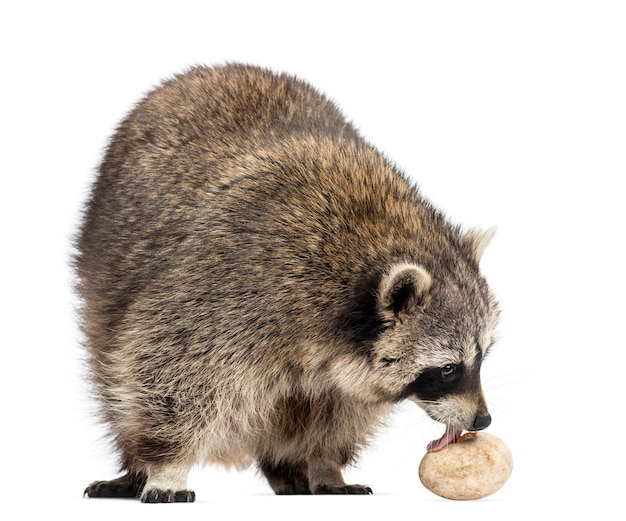 Guaxinim, procyon iotor, em pé, comendo um ovo, isolado no branco