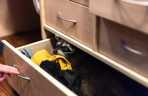 Guaxinim sentado na gaveta do guarda-roupa