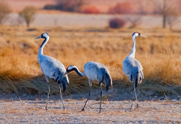 Guindaste comum, (grus grus), animais selvagens, nationalpark vorpommersche boddenlandschaft, mecklemburgo-pomerânia ocidental, alemanha