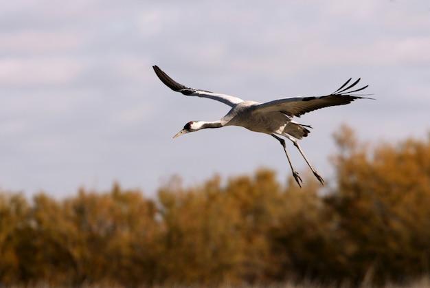 Guindaste comum voando, pássaros, grus grus