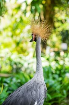 Guindaste coroado caminha ao longo de um caminho em um parque verde. observação de pássaros