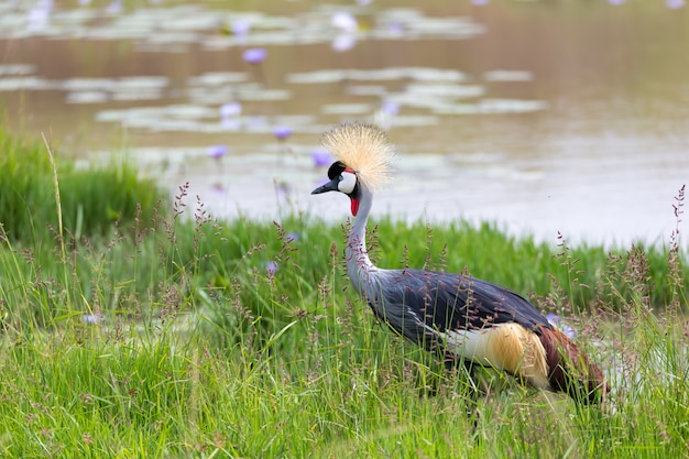 Guindaste coroado de pescoço cinza fica na margem de um rio