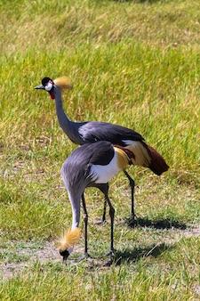 Guindaste coroado. dois pássaros lindos. samburu, quênia