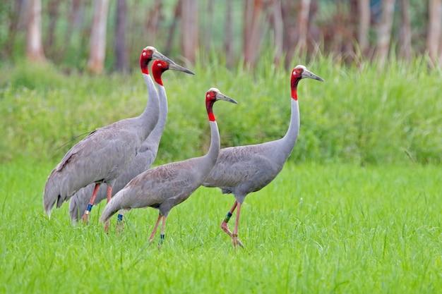 Guindaste sarus grus antígona aves no campo de arroz
