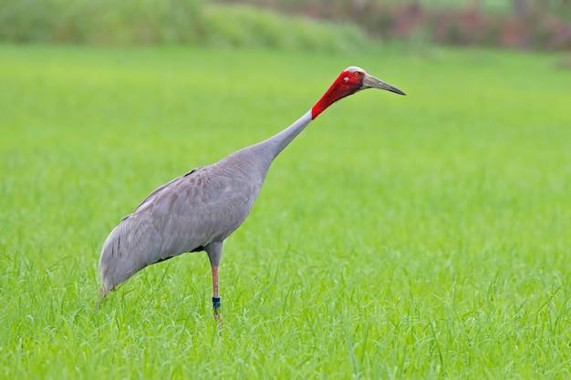 Guindaste sarus grus antígona belas aves da tailândia