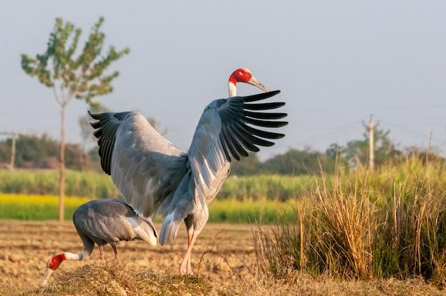 Guindaste sarus tremulando asas no campo