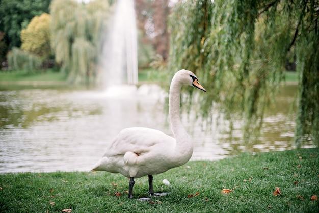Gulet branco só da cisne no lago no verão ao longo da grama verde.