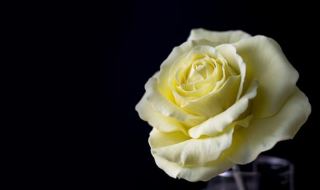 Gumpaste rose na superfície preta