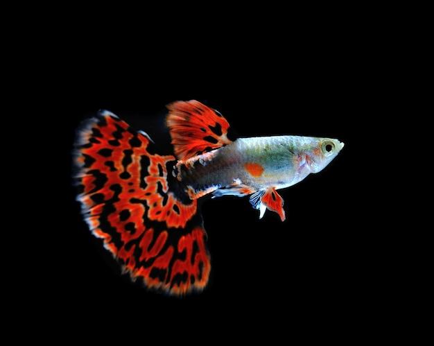 Guppy peixe nadando isolado no preto