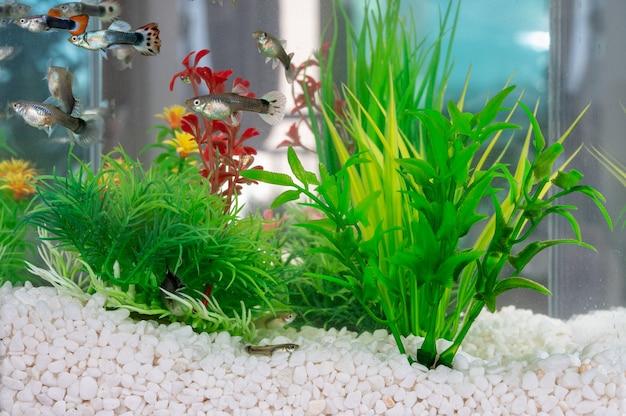 Guppys nadando em um aquário com pequenas pedras brancas e plantas aquáticas artificiais
