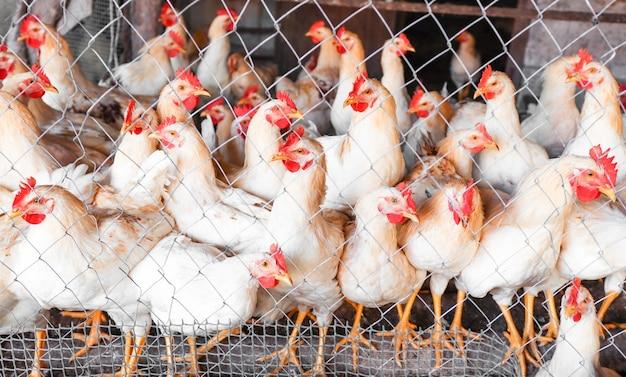 Há muitas galinhas brancas em uma área cercada em uma granja avícola de pé e olhando seriamente