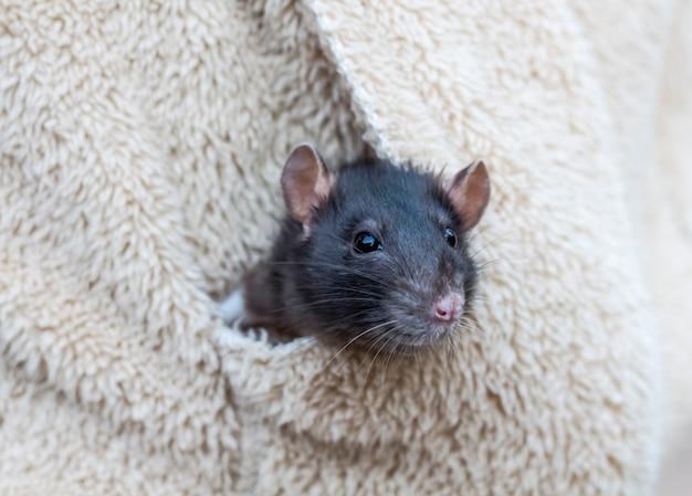 Há um rato cinza domesticado sentado no bolso da jaqueta.