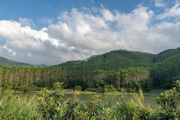 Há uma fileira de lindos eucaliptos na floresta sob o céu azul