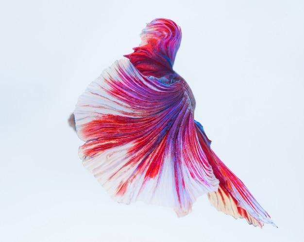 Halfmoon betta fish, peixe-lutador-siamês, betta splendens