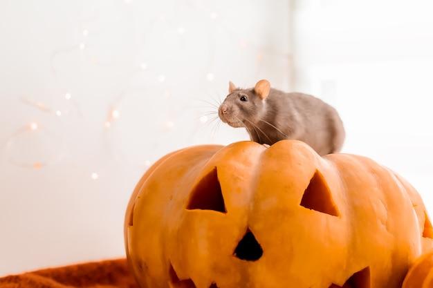 Halloween rato e abóbora rato e abóbora para o halloween cinza decorativo rat outono cores